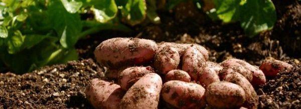 4 Условия, без които няма да има картофи