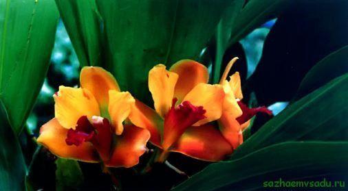 bifrenie орхидея