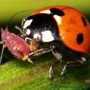 Ladybug помага за борба с листни въшки