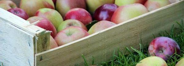 Съхранение на ябълки: няколко полезни правила за това как да се запазят витамините до пролетта
