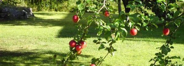 Apple grounds: грижи за млади дървета