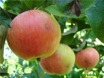 Грижа за младите плантации на ябълки