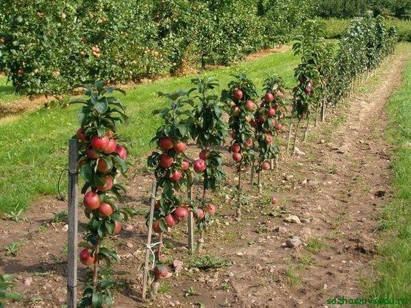 джуджета ябълкови дървета