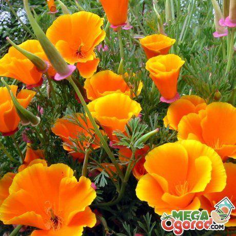 Escholzia: расте от семената и се грижи за растение