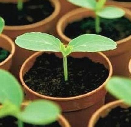 Как да засадят краставици в разсад? Това е лесно!