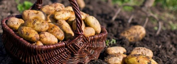 Как да увеличите добива на картофи