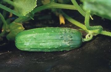 как да засаждате краставици
