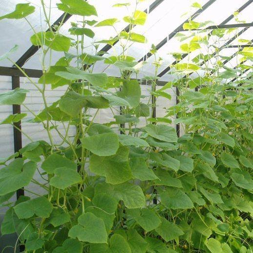 Как да направите оранжерия за краставици със собствените си ръце?