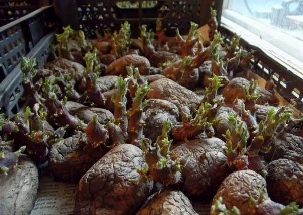 Разрушаването на картофите