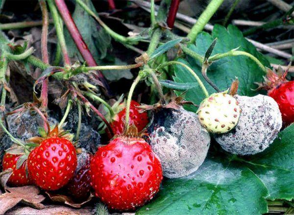 Ягода ягоди, засегнати от гъбични заболявания