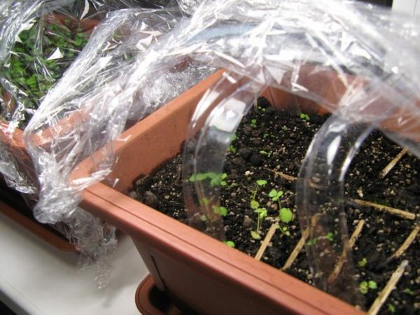 Размножаване на семена от ягоди