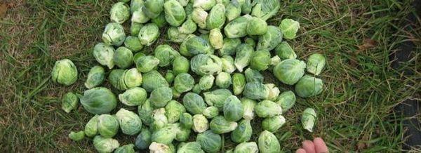Склад за витамини: колко полезна е брюкселското зеле