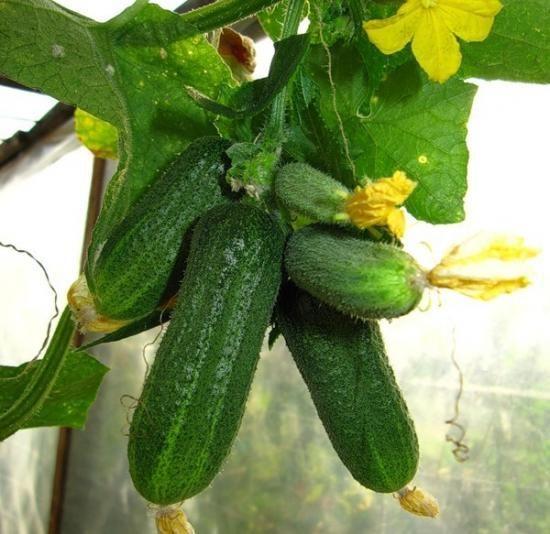 Кога да засаждате краставиците най-добре на открито място?