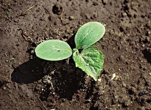 Кога да засаждате краставици в разсад?