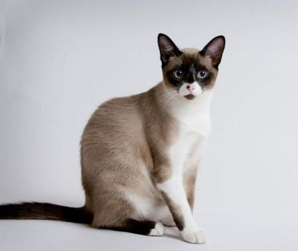 Сноу-шу котка