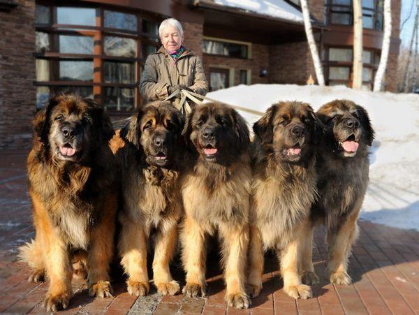 Кучета от породата Леонбъргер