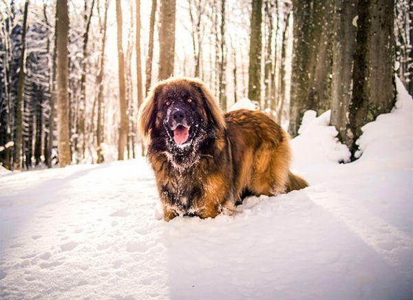 Леонбъргър на разходка в снега