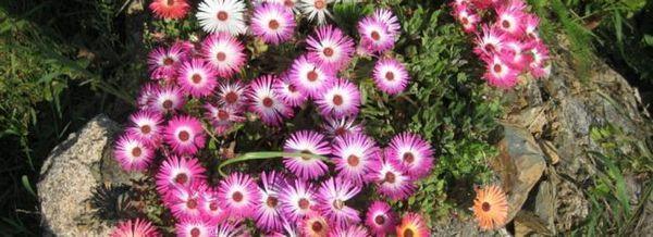 Mesembriantumum цъфтящ килим
