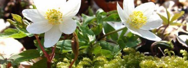 Замразена - растение с мрачна свежест