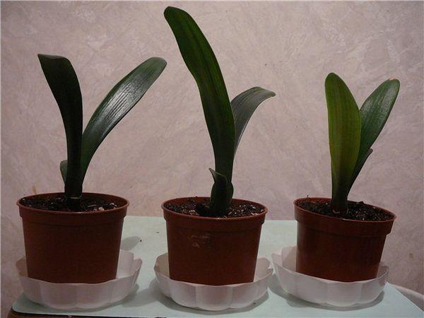 Възпроизвеждане на clivia вегетативно