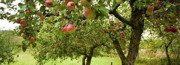 Някои тайни за грижа за ябълковите дървета