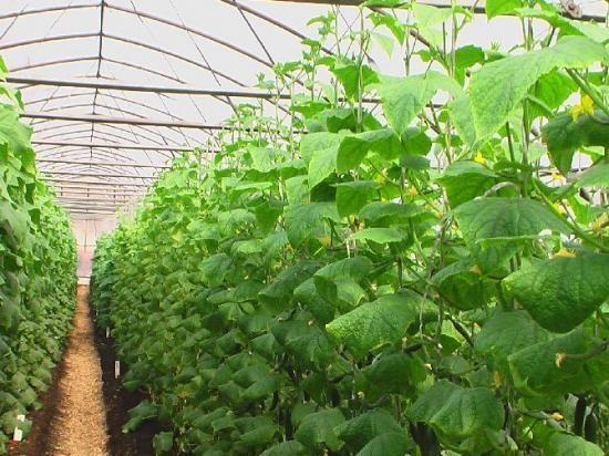 Някои съвети за отглеждане на краставици в оранжерия