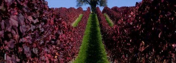 Есен в лозето
