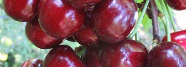 Ovstuzhenka - вкусни череши за цялото семейство