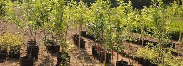 Ние купуваме разсад от плодни дървета с гаранция за качество