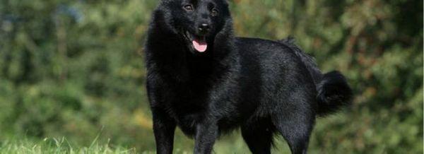 Куче порода schipperke: смел пазач в семейството