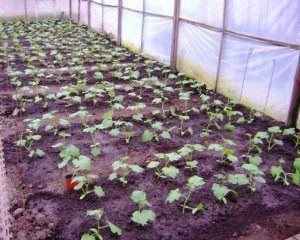 Засаждане на краставици в оранжерията