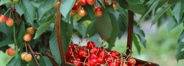 Засаждане на овощни дървета за подкрепа
