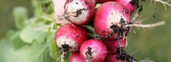 Репички: култивиране на хибридни сортове