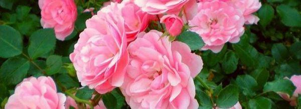 Розите - операция