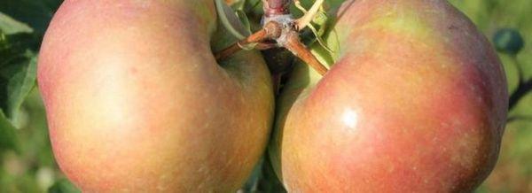 Един вид ябълки