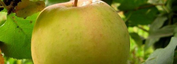 Сорт на ябълково дърво: на екрана