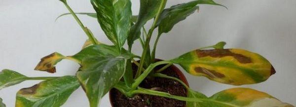 Spathiphyllum. Обработка и анализ на грешки