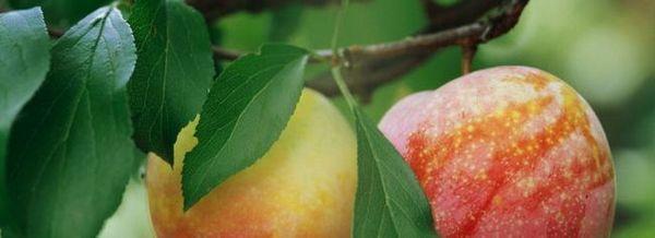 Тръбите на ябълковото дърво текат