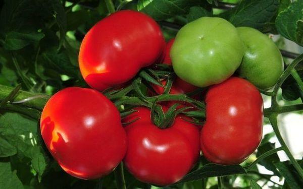 Сорт домат Blagovest