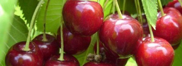 Cherry Kharitonovka - популярен и нетърпелив сорт