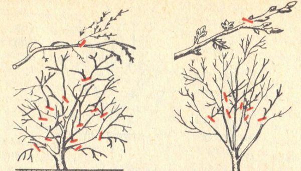 Подмладяване на короната на черешовия храст