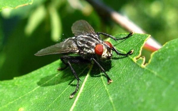 Зелената муха