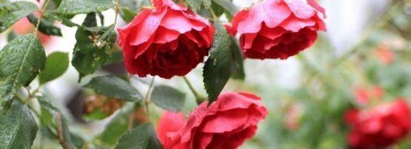 Вредители от рози