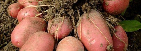 Всичко за отглеждането на картофи: полезни съвети за градинарите