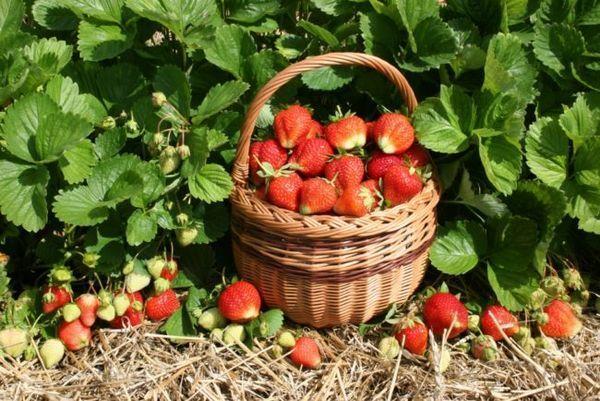 Градина ягодова корона