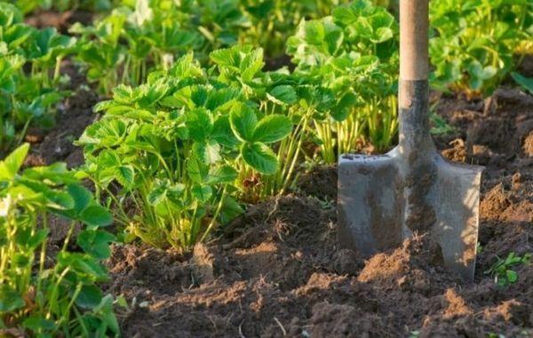 Ягодни храсти и лопата