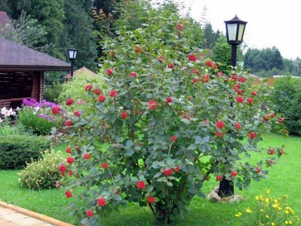 Избираме храстови храсти за вили