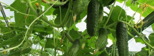 Отглеждайте краставици в оранжерия