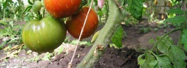Отглеждане на домати върху пергола: характеристиките на грижите