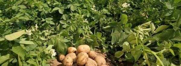 Отглеждане на картофи за мързеливи хора